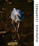 blue heron walking | Shutterstock . vector #1116490631