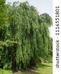 weeping katsura tree ...   Shutterstock . vector #1116551801