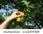 beautiful young woman picking...   Shutterstock . vector #1116559589