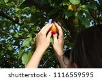 beautiful young woman picking...   Shutterstock . vector #1116559595
