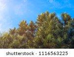 Conifer Forest  Blue Sky ...