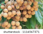 fresh longan on tree in the... | Shutterstock . vector #1116567371