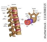 skeleton. intervertebral disc...   Shutterstock .eps vector #1116588215
