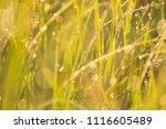midsummer morning sunrise in... | Shutterstock . vector #1116605489