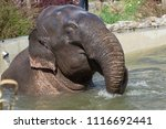 asian elephant  elephas maximus ... | Shutterstock . vector #1116692441