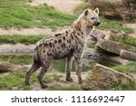 spotted hyena  crocuta crocuta  ... | Shutterstock . vector #1116692447