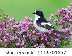 Male Of Pied Flycatcher In...