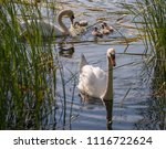 Swans On The Lake In The...