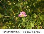 bush flowering rose hips in the ... | Shutterstock . vector #1116761789