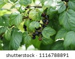 black currant growing in the... | Shutterstock . vector #1116788891