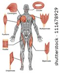 anatomy of male muscular system ...   Shutterstock .eps vector #111678929