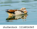 Egyptian Goose Resting On A...