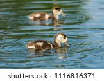 juvenile egyptian goose looking ... | Shutterstock . vector #1116816371