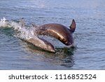 a mother and baby bottlenose...   Shutterstock . vector #1116852524
