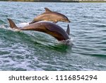 a mother and baby bottlenose...   Shutterstock . vector #1116854294
