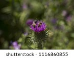 Small photo of Halictidae and ceratina bee on a purple thistle flower