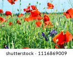 beautiful meadow with wild... | Shutterstock . vector #1116869009