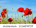 red poppies against blue sky ... | Shutterstock . vector #1116878729
