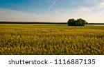 wheat field and single tree | Shutterstock . vector #1116887135
