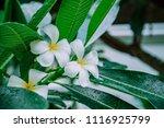 frangipani flower wet rain ... | Shutterstock . vector #1116925799