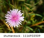 a single gerbera flowered in... | Shutterstock . vector #1116933509