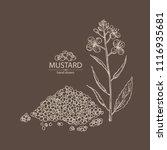 mustard  plant  mustard seeds ... | Shutterstock .eps vector #1116935681