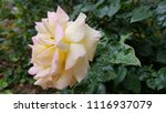 beautiful pastel color rose... | Shutterstock . vector #1116937079