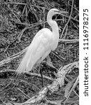 a great egret  ardea alba ... | Shutterstock . vector #1116978275