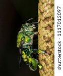 bee Euglossa sp - Green Bee close up - Agapostemon sp. macro photo