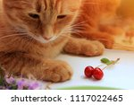 ginger beautiful cat with... | Shutterstock . vector #1117022465