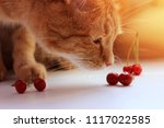 cat is sniffing cherry.... | Shutterstock . vector #1117022585