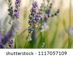 hummingbird hawk moth hovering... | Shutterstock . vector #1117057109