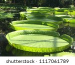 giant water lilies   botanical... | Shutterstock . vector #1117061789