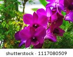 pink orchid orchidaceae flowers | Shutterstock . vector #1117080509