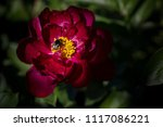 purple peony flower with a bee... | Shutterstock . vector #1117086221