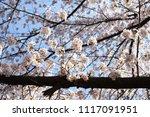 spring cherry blossom | Shutterstock . vector #1117091951
