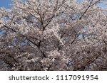 spring cherry blossom | Shutterstock . vector #1117091954