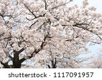 spring cherry blossom | Shutterstock . vector #1117091957