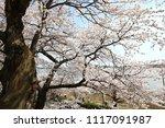 spring cherry blossom | Shutterstock . vector #1117091987
