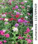 flower carnation turkish  some... | Shutterstock . vector #1117099439