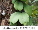 hoya kerrii craib  sweetheart... | Shutterstock . vector #1117115141
