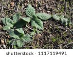 wild plant of mountain | Shutterstock . vector #1117119491