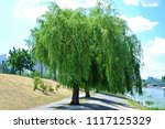 weeping willow tree in the... | Shutterstock . vector #1117125329