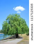 weeping willow tree in the... | Shutterstock . vector #1117125335
