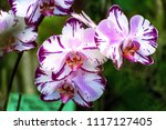 moth orchids flowers or... | Shutterstock . vector #1117127405