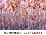 straw plant in swamp water ... | Shutterstock . vector #1117133651