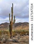 saguaro cactus cereus giganteus ... | Shutterstock . vector #1117147214