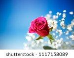 Rose Flower Macro Shot