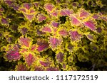 colorful leaves pattern of... | Shutterstock . vector #1117172519