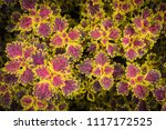 colorful leaves pattern of... | Shutterstock . vector #1117172525